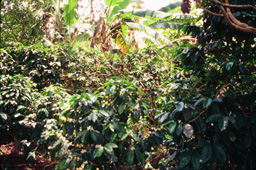 Coffee plants growing under the shade of bananas and forest canopy